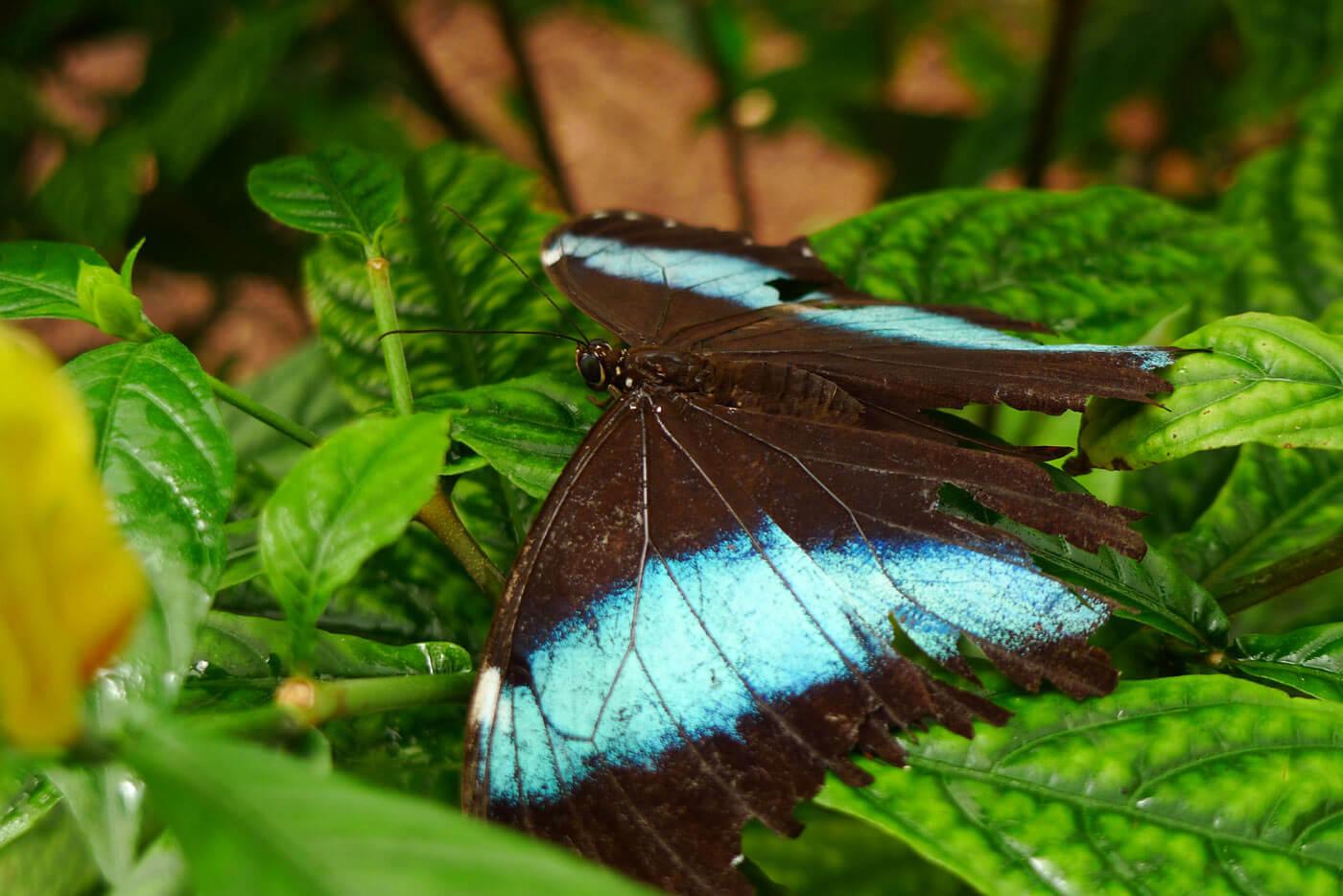 equateur-amazonie-papillon-morpho-cgm