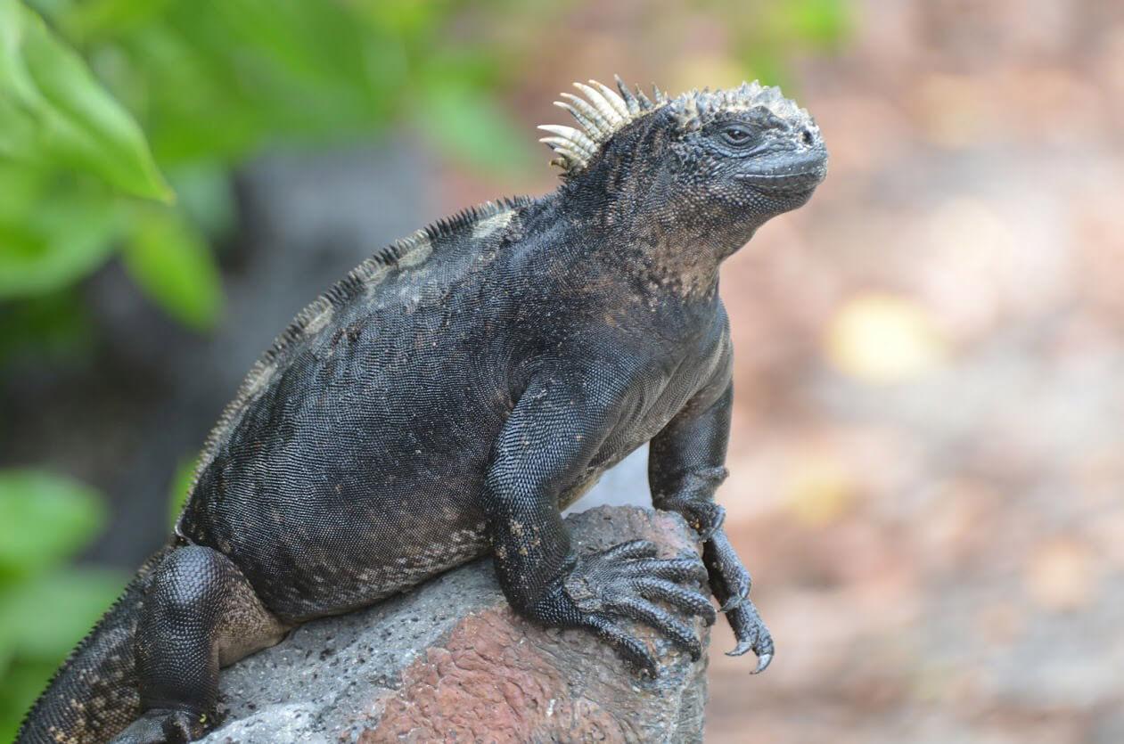 iguane-marin-galapagos-cgm