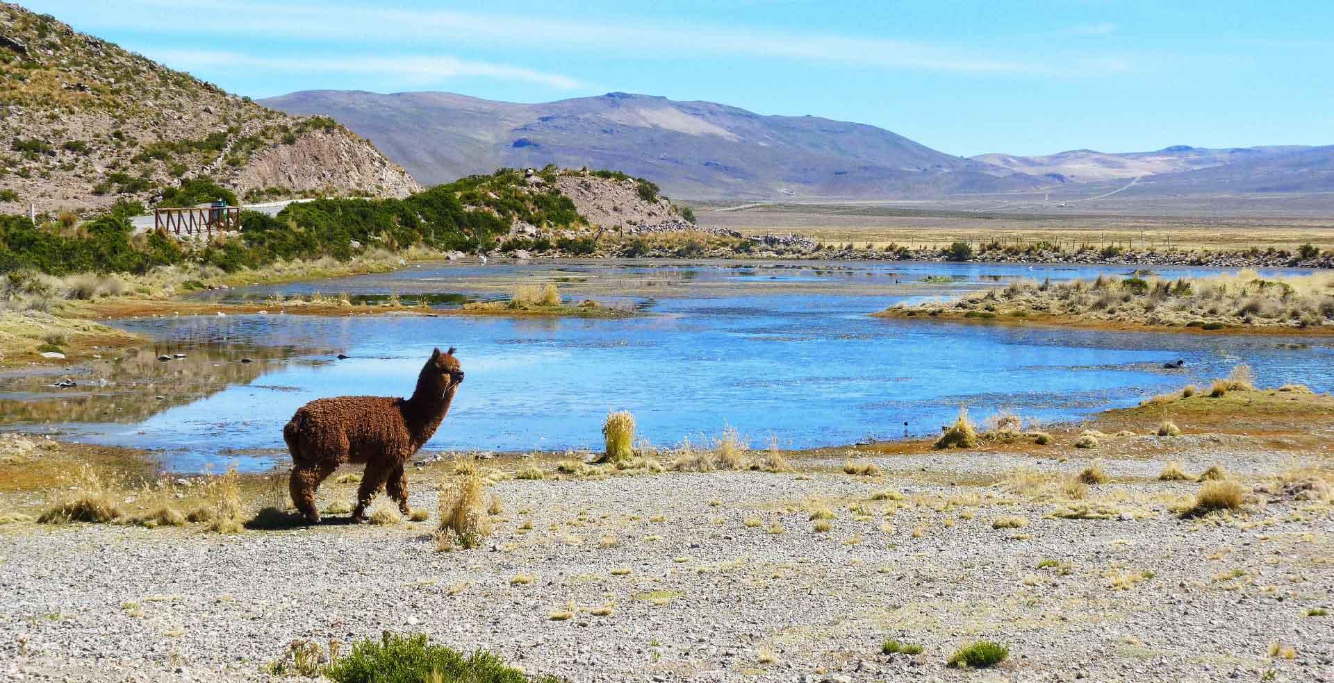 PERU_Colca_Alpaca1_Lancon_2014-web