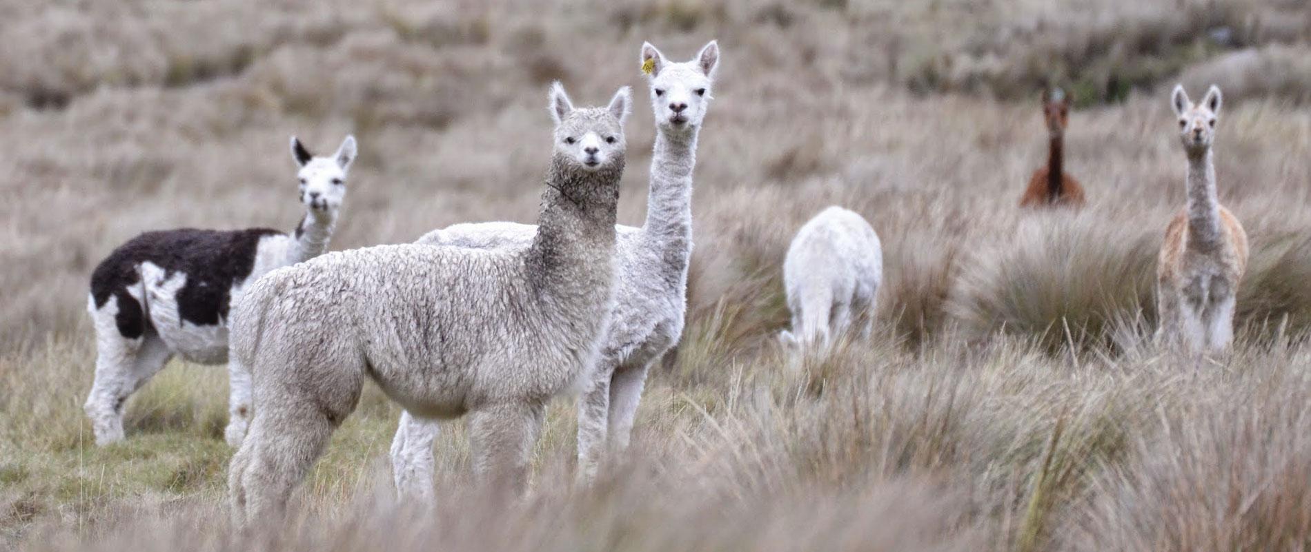 Equateur-Chimborazo©Gaëlle-Montcharmont-2