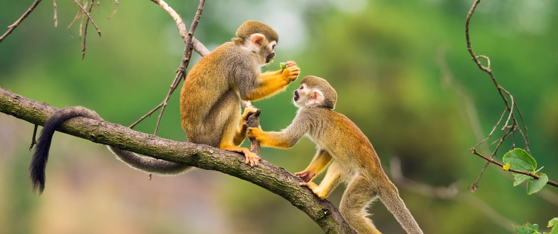 Equateur-singes